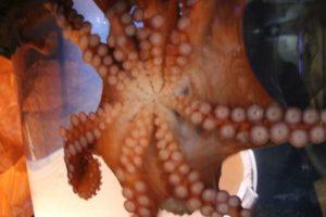Tauchen Sie ein in die faszinierende Welt der Oktopaden und Kraken im SEA LIFE Oberhausen © SEA LIFE Oberhausen