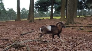 Mufflons im Wildpark Granat
