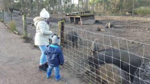 Die Wildschweine haben im Wildpark Granat viel Platz