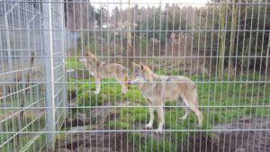 wolf_wildpark_granat_haltern©vip_ruhrgebiet