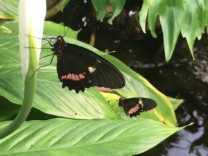 Im größten Schmetterlingshaus NRW können zahlreiche zarte Falter in tropischer Umgebung bestaunt werden