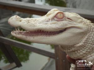 Zahlreiche Reptilien und Amphibien können im TerraZoo Rheinberg bestaunt werden u.a. auch diese Albino-Alligator-Dame Foto © TerraZoo - RAS-Zoo gGmbH