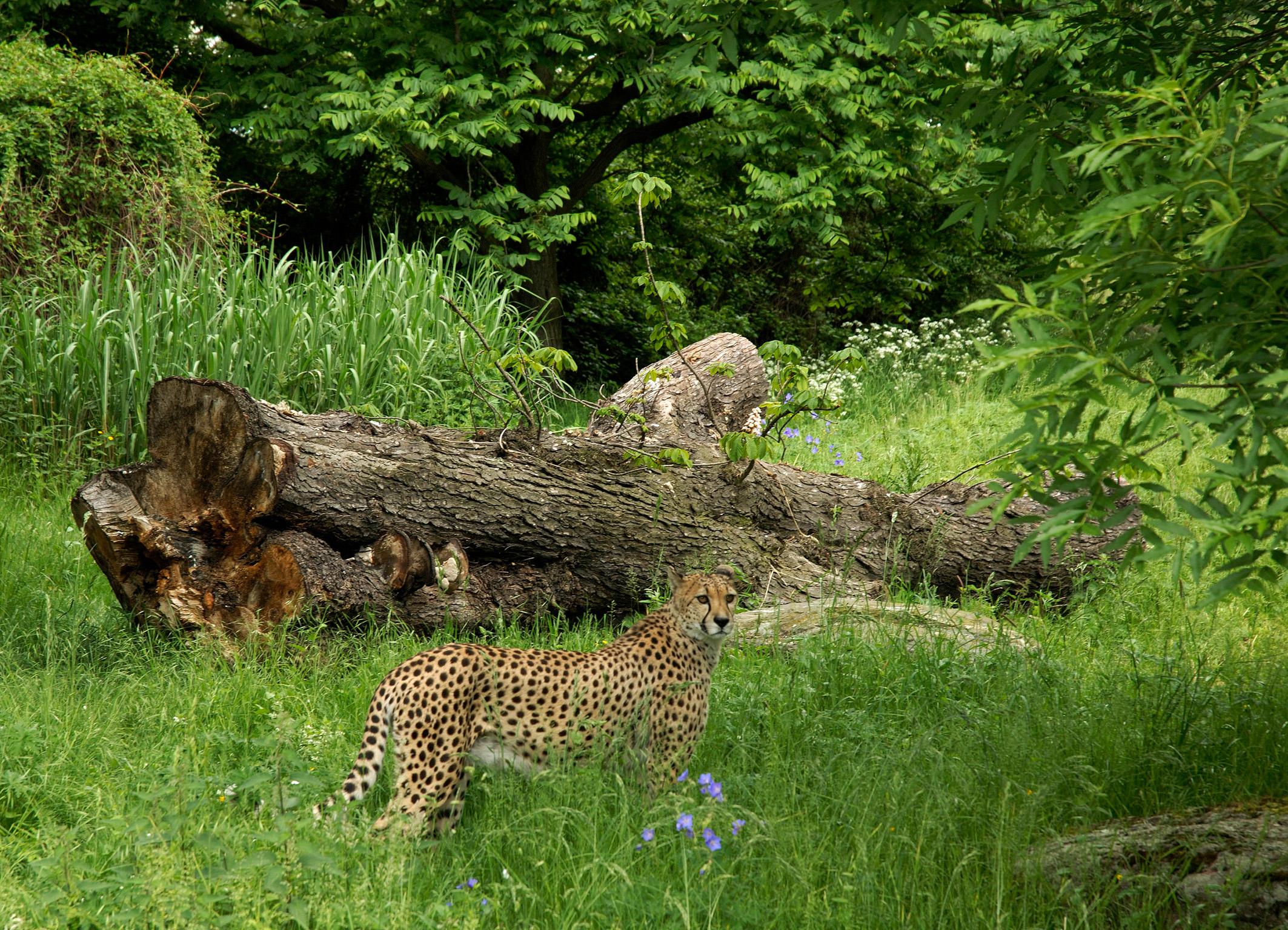 ©Zoo Köln Geparden Anlage