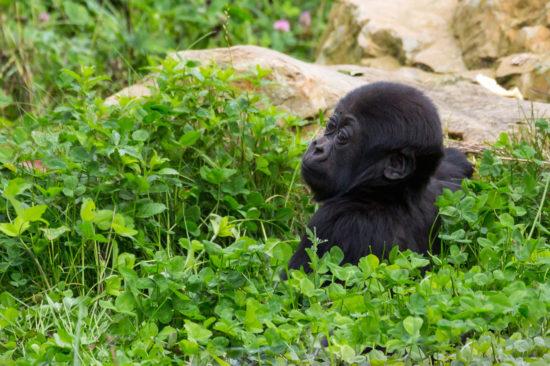 Zoo Krefeld Flachlandgorilla Tambo