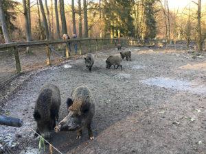 Wildschweine im Streichelzoo und Wildgehege Hohenstein Foto: Ruhrgebietaktuell/Janine Sauer-Crepulja