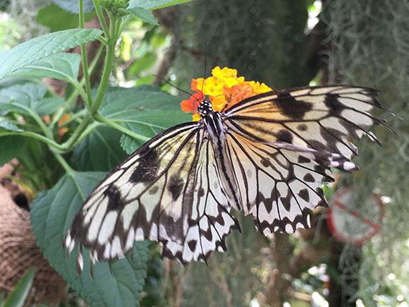 Schmetterlingshaus im Maximilianpark Hamm - Viele verschiedene aber nicht weniger schöne Exemplare sind hier zu beobachten Foto: VIP Ruhrgebiet/Janine Sauer-Crepulja