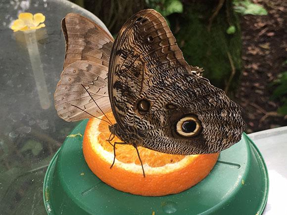 Schmetterling auf einer leckeren Orange im Schmetterlingshaus Hamm Foto: VIP Ruhrgebiet / Janine Sauer-Crepulja