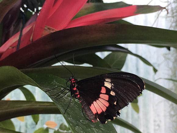 Filigrane Schönheiten sind im Schmetterlingshaus im Maximilianpark Hamm zu bewundern Foto: VIP Ruhrgebiet / Janine Sauer-Crepulja